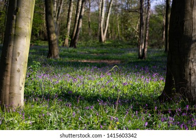 The bluebells of Epping Forest in Walthamstow
