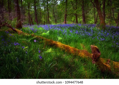 Bluebells and a fallen tree Bluebells and a dead tree in the woodlands of Glynneath, South Wales, UK