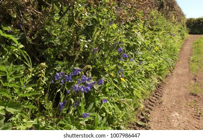 Bluebells and ferns in hedgerow