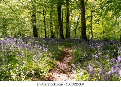 Bluebells field in the forest with walking path in the middle