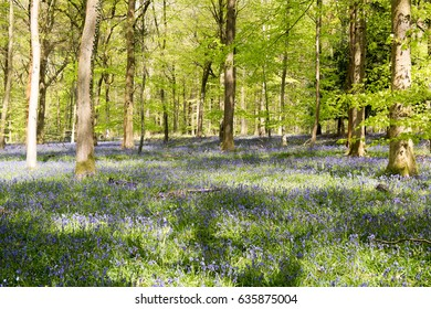 Bluebells in Forest of Dean, Gloucestershire, England