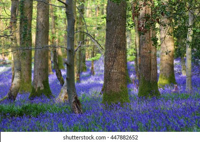 Bluebells at the Forest of Dean, Gloucestershire, uk
