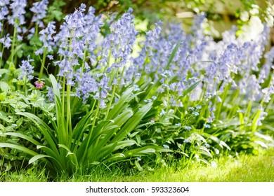 Bluebells in a garden border flower bed