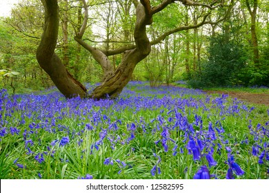 Bluebells in green field. Typical springtime scene in English woodland.
