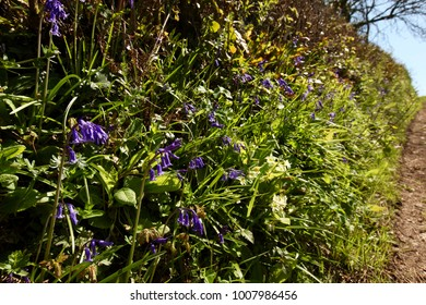 Bluebells in hedgerow