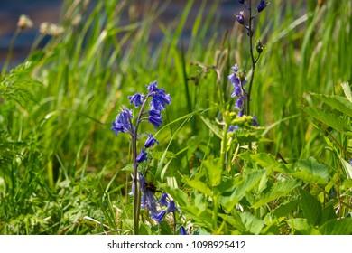 Bluebells - Hyacinthoides non-scripta - growing in the Scottish Highlands in Sutherland Scotland UK