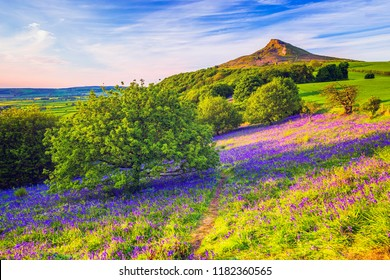 Bluebells in Newton Woods,  Rosberry Topping in UK.  North York Moors National Park.