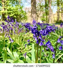 Bluebells at Sewerby Park near Bridlington