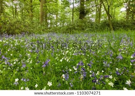 Bluebells Spring Flowers English Woodland Stock Photo Edit Now