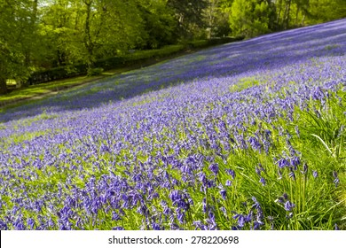 Bluebells in spring, Malvern Hills, Worcestershire, UK