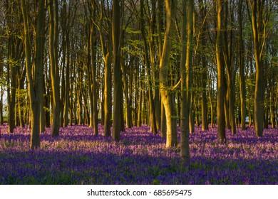 Bluebells at Sunrise in ancient Oxfordshire woodland, Badbury Clump, Oxfordshire, UK