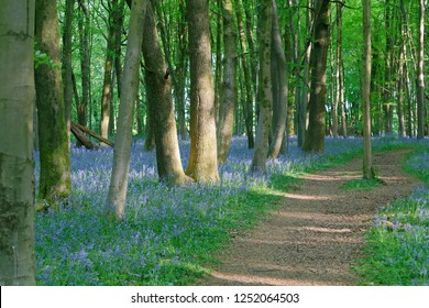 Bluebells under the canopy of Beech trees Oakley Hampshire