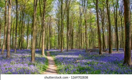 Bluebells in Wepham Wood