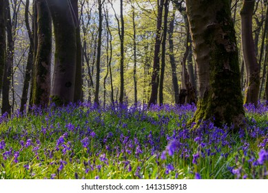 Bluebells in the wild woods