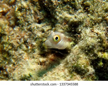 Bluebelly blenny (Alloblennius pictus) Taken in Red Sea, Egypt.