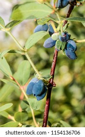 Blue-berried Honeysuckle (Lonicera caerulea var. edulis) in orchard, Moscow region, Russia