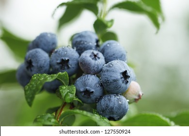 Blueberry Plant Images Stock Photos Amp Vectors Shutterstock