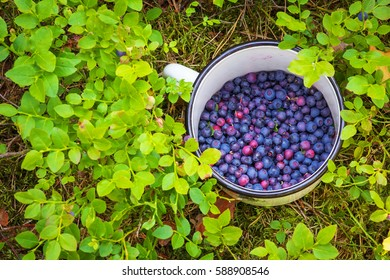 Blueberries in the cup. Picking berries in the woods