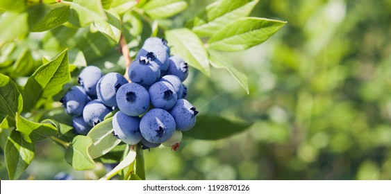 Blueberries - delicious, healthy berry fruit. Vaccinium corymbosum, high huckleberry.  Blue ripe fruit on the healthy green plant. Food plantation - blueberry field, orchard.