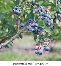 Blueberries - delicious, healthy berry fruit. Vaccinium corymbosum, high huckleberry bush.  Blue ripe fruit on the healthy green plant. Food plantation - blueberry field, orchard.