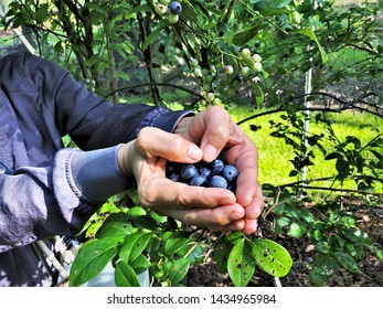 Blueberries are in female hands making the heart shaped on the blueberry farm background, Summer in GA USA.