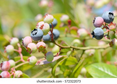 blueberries fruits hanging on blueberry plant