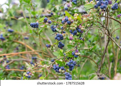 Blueberries growing on a bush on a farm