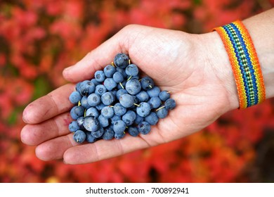 Blueberries in hand, autumn time