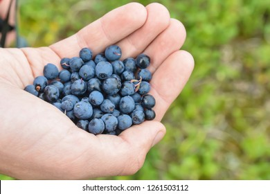 Blueberries in hand. Freshly picked berries from the tundra.