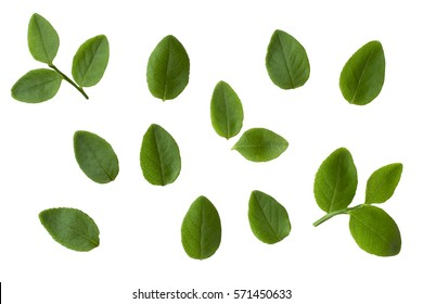 blueberries leaves isolated on white collection