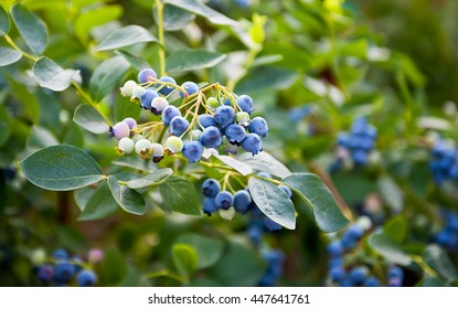 Blueberries ripening on the bush. Shrub of blueberries. Growing berries in the garden. Close-up of blueberry bush, Vaccinium corymbosum. Northern highbush blueberry. Gardening berry antioxidants.