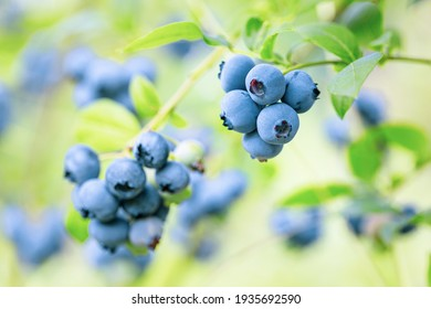 Blueberries - sweet, healthy berry fruit. Huckleberry bush. Blue ripe berries on the healthy green plant. branch of ripe blueberry. Food plantation - blueberry field, orchard.