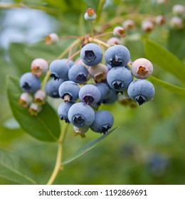 Blueberries - Vaccinium corymbosum, high huckleberry, blush with abundance of crop. Blue ripe berries fruit on the healthy green plant. Food plantation - blueberry field, orchard.