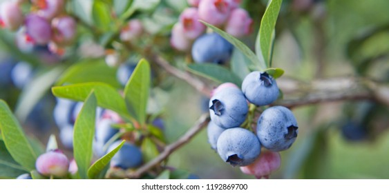 Blueberries - Vaccinium corymbosum, high huckleberry, blush with an abundance of crop. Blue ripe berries on the healthy green plant. Food plantation - blueberry field, orchard.