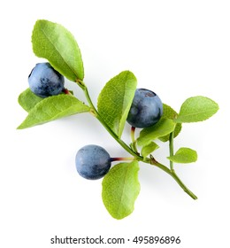 Blueberry. Branch with leaves isolated on white background