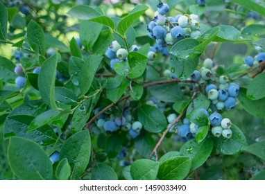 Blueberry bumper crop, berries on blueberry bushes