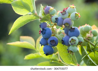 Blueberry bush with cluster of berries