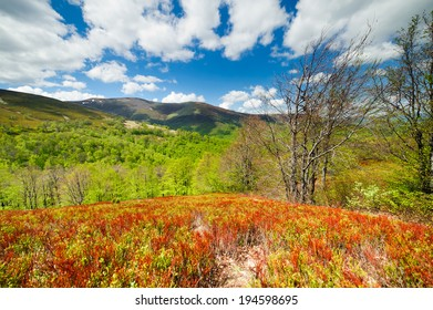 blueberry bushes grow on the slopes of the Carpathian Mountains. beautiful landscape