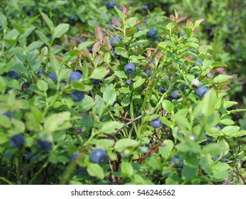 blueberry bushes with indigo ripe berries