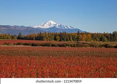 Blueberry fields in autumn colors below Mount Baker near Lynden, Washington.