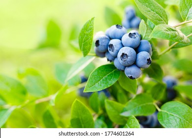 Blueberry. Fresh berries with leaves on branch in a garden.