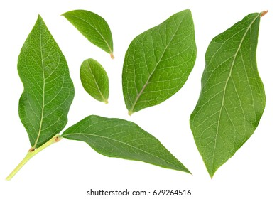Blueberry fruit leaf set isolated on white background