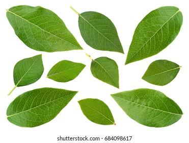 Blueberry fruit leaf set isolated on white backgound