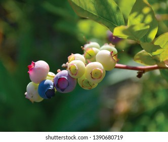 Blueberry Huckleberry Growing Macro Close Up Background Blurred Background