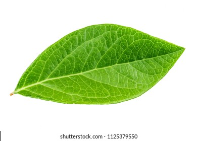 a blueberry leaf isolated on white background. clipping path