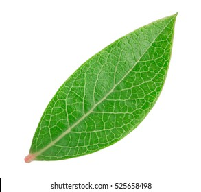 Blueberry leaf isolated on a white background with clipping path