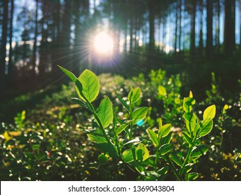 Blueberry leaves in sunlight. Photo from Sotkamo, Finland.