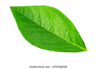 Blueberry leaves are very similar to coca leaves, isolated on white background. File contains clipping path. Macro shooting.