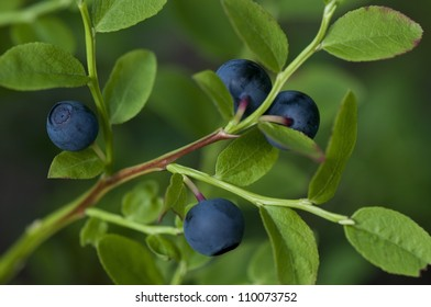 Blueberry Plant with Blueberries in a Forest, Closeup - Healthy Source of Antioxidants, Vitamins and Phytonutrients. Natural, delicious snack that can prevent cancer.