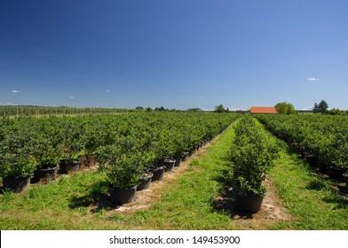 Blueberry plantation for self-picking